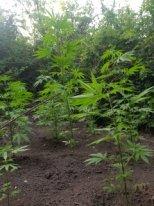 Meşə zolağında narkotik becərən İsmayıllı sakini saxlanılıb