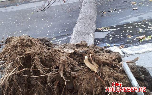 Külək Bakıda ağacları aşırmağa başladı – FOTOLAR