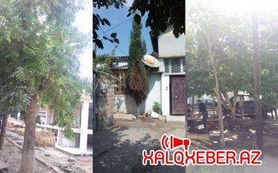 Nərimanovda 30-dan çox ağac kəsildi - Foto