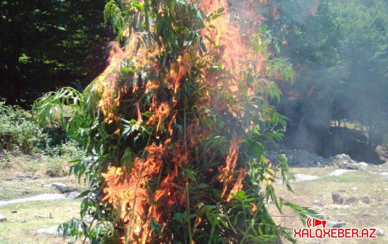 İsmayıllıda 600 kq-dan artıq narkotik vasitə məhv edilib
